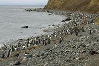 Magellanic penguins (Spheniscus magellanicus), Isla Magdalena, Punta Arenas, Patagonia, Chile, South America