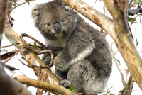 Koala in the wild, in a gum tree at Cape Otway, Great Ocean Road, Victoria, Australia