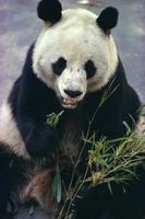 Panda eating bamboo 20062007193| 写真素材・ストックフォト・画像・イラスト素材|アマナイメージズ
