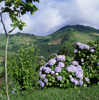 Hydrangeas in bloom, island of Sao Miguel, Azores, Portugal, Europe 20062008431| 写真素材・ストックフォト・画像・イラスト素材|アマナイメージズ