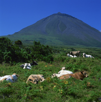 Cattle below the volcanic cone on the island of Pico in the Azores, Portugal, Atlantic, Europe