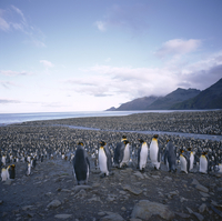 King penguin rookery, South Georgia, South Atlantic, Polar Regions 20062009529| 写真素材・ストックフォト・画像・イラスト素材|アマナイメージズ
