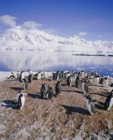 Gentoo penguin rookery, Antarctica, Polar Regions 20062009605| 写真素材・ストックフォト・画像・イラスト素材|アマナイメージズ