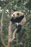 Giant Panda, Chengdu Panda Reserve, Sichuan, China, Asia 20062011307| 写真素材・ストックフォト・画像・イラスト素材|アマナイメージズ