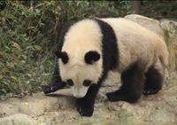 Giant Panda, Chengdu Panda Reserve, Sichuan, China, Asia 20062011308| 写真素材・ストックフォト・画像・イラスト素材|アマナイメージズ