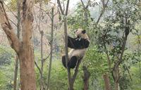 Giant Panda, Chengdu Panda Reserve, Sichuan, China, Asia 20062011312| 写真素材・ストックフォト・画像・イラスト素材|アマナイメージズ