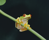 Red eyed tree frog (Agalythnis Callidryas), South America