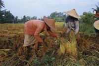 Harvesting rice, Bali, Indonesia, Asia 20062011666| 写真素材・ストックフォト・画像・イラスト素材|アマナイメージズ