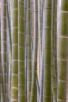 Close-up of stems, Bamboo Forest, Sagano, Ukyo Ward, Arashiyama, Kyoto, Kansai region, island of Honshu, Japan, Asia 20062011998| 写真素材・ストックフォト・画像・イラスト素材|アマナイメージズ