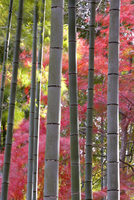 Colourful maples in autumn colours viewed from a bamboo grove, Arashiyama, Kyoto, Kansai Region, Honshu, Japan, Asia 20062012229| 写真素材・ストックフォト・画像・イラスト素材|アマナイメージズ