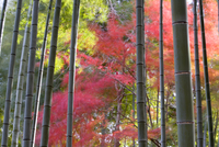 Colourful maples in autumn colours viewed from a bamboo grove, Arashiyama, Kyoto, Kansai Region, Honshu, Japan, Asia 20062012230| 写真素材・ストックフォト・画像・イラスト素材|アマナイメージズ