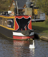 Swan and narrowboat near the British Waterways Board workshops, Worcester and Birmingham canal, Tardebigge, Worcestershire, Engl 20062013609| 写真素材・ストックフォト・画像・イラスト素材|アマナイメージズ