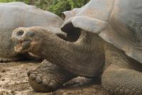 Giant tortoise, Darwin Research Station, Santa Cruz island, Galapagos, Ecuador, South America 20062014264  写真素材・ストックフォト・画像・イラスト素材 アマナイメージズ