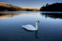 View across Grasmere on snowy winter morning with sunlight on distant fells and an adult swan on the lake edge, near Ambleside, 20062015901  写真素材・ストックフォト・画像・イラスト素材 アマナイメージズ