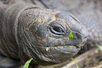 Head of Seychelles giant tortoise (Geochelone gigantea) at the Jardin du Roi spice garden near Anse Royale, Anse Royale district
