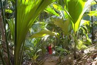 Birdwatcher beneath giant palm leaves in the Vallee de Mai Nature Reserve, UNESCO World Heritage Site, Baie Sainte Anne district