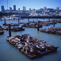 Sea lions basking on floating platforms at Pier 39, near Fishermans Wharf, San Francisco, California, United States of America, 20062019724| 写真素材・ストックフォト・画像・イラスト素材|アマナイメージズ