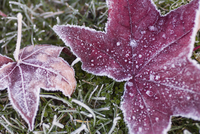 Close up of frost covered maple leaf and grass 20062021262| 写真素材・ストックフォト・画像・イラスト素材|アマナイメージズ