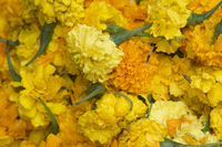 Yellow carnations for sale for temple offerings in Little India, Singapore, South East Asia 20062021309| 写真素材・ストックフォト・画像・イラスト素材|アマナイメージズ