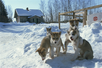 Group of five purebred Siberian husky pups at 8 weeks at Vihari kennels, Karelia, Finland, Scandinavia, Europe 20062022136| 写真素材・ストックフォト・画像・イラスト素材|アマナイメージズ