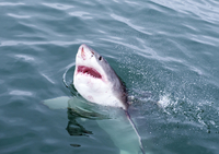 Great white shark (Carcharodon carcharias) at the surface at Kleinbaai in the Western Cape, South Africa, Africa