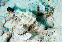 Short dragonfish (sea moth) (Dragon sea moth) (Europegasus draconis), Celebes Sea, Sabah, Malaysia, Southeast Asia, Asia