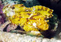 Leaf fish (Taenianotus Triacanthus), an ambush predator found amonst corals, Celebes Sea, Sabah, Malaysia, Southeast Asia, Asia