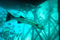 Great barracuda (Sphyraena barracuda) (giant barracuda) can grow up to 1.8 metres long, under pier, Celebes Sea, Sabah, Malaysia