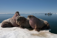 Walrus (Odobenus rosmarus) hauled out on pack ice to rest and sunbathe, Foxe Basin, Nunavut, Canada, North America 20062022259| 写真素材・ストックフォト・画像・イラスト素材|アマナイメージズ
