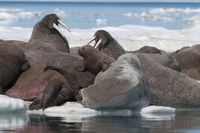 Walrus (Odobenus rosmarinus) females with baby hauled out on pack ice to rest and sunbathe, Foxe Basin, Nunavut, Canada, North A