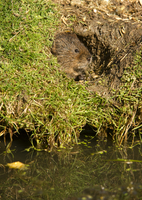 Water vole (Arvicola terrestris) at burrow entrance, surrounded by a closely cropped lawn, eaten by the herbivorous rodents, Uni 20062022269| 写真素材・ストックフォト・画像・イラスト素材|アマナイメージズ