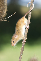 Harvest mouse (Micromys minutus) the smallest British rodent by weight, with prehensile tails to help them climb, United Kingdom 20062022272| 写真素材・ストックフォト・画像・イラスト素材|アマナイメージズ