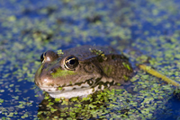The marsh frog (Pelophylax ridibundu) an escaped garden alien introduced to Kent in 1935, England, United Kingdom, Europe