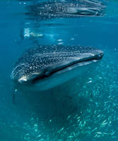 Scientist and whale shark (Rhincodon typus) feeding at the surface on zooplankton, mouth open, known as ram feeding, Yum Balam M 20062022280| 写真素材・ストックフォト・画像・イラスト素材|アマナイメージズ