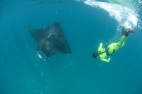Scientist free diving to make a photo identification of an individual manta ray (Manta birostris), Yum Balam Marine Protected Ar