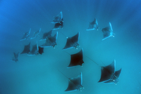 Eagle rays (Mobula hypostoma) common in this area and often seen feeding on zooplankton in large groups, Yum Balam Marine Protec 20062022283| 写真素材・ストックフォト・画像・イラスト素材|アマナイメージズ