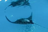 Manta ray (Manta birostris) feeding on zooplankton by extending its cephalic lobes, Quintana Roo, Mexico, North America