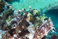 Tassled scorpionfish (smallscale scorpionfish) (Scorpaenopsis oxycephala), has an array of venomous spines, Matangi Island, Vanu
