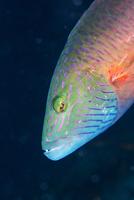 Cheek-lined wrasse (Oxycheilinus digramma), Matangi Island, Vanua Levu, Fiji, Pacific 20062022387| 写真素材・ストックフォト・画像・イラスト素材|アマナイメージズ