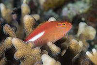 Arc-eye hawkfish (Paracirrhites arcatus), Matangi Island, Vanua Levu, Fiji, Pacific 20062022388| 写真素材・ストックフォト・画像・イラスト素材|アマナイメージズ