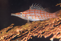 Longnose hawkfish (Oxycirrhites typus) on gorgonian sea fans (Subergorgia mollis) a hard coral species found in high current are