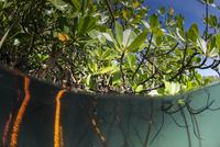 Rhizophora sp. mangrove above and below split shots from Sau Bay, Vanua Levu, Fiji, South Pacific, Pacific 20062022410| 写真素材・ストックフォト・画像・イラスト素材|アマナイメージズ