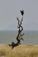 Fish eagle, Lake Turkana, Kenya, East Africa, Africa 20062022853| 写真素材・ストックフォト・画像・イラスト素材|アマナイメージズ