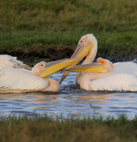 Pelicans, Lake Nakuru National Park, Kenya, East Africa, Africa