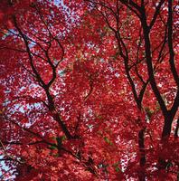 Canopy of acer tree's fall foliage, Gloucestershire, England, United Kingdom, Europe