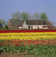 Fields of tulips in Holland, Europe 20062023662| 写真素材・ストックフォト・画像・イラスト素材|アマナイメージズ