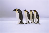 Emperor Penguins walking in a row,  Antarctica.