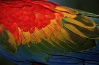 Wing detail of scarlet macaw, Peru