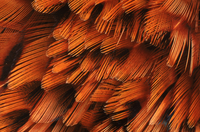 Close-up of plumage of male pheasant.