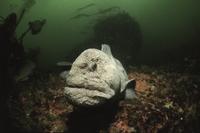 Wolf eel (Anarhichthys ocellatus) Pacific ocean off Canada